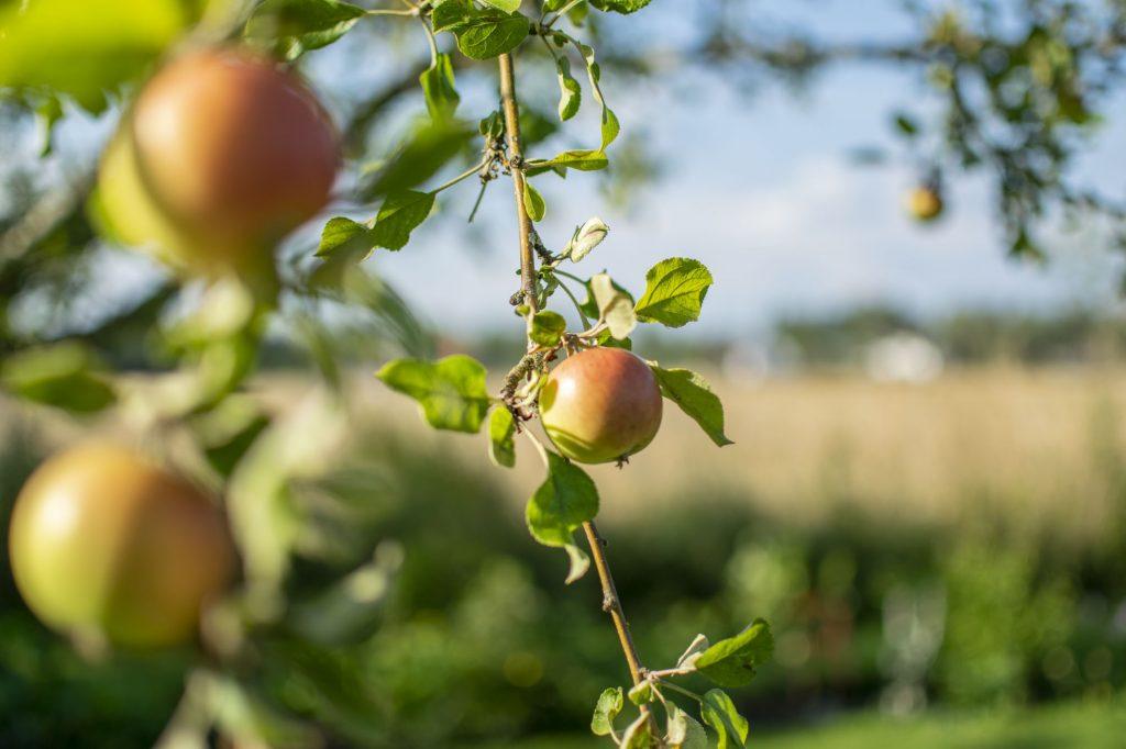 Äppelträd på Mobolet gård